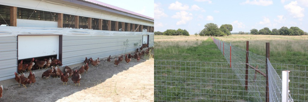 Side doors allow chicken access to outdoor pasture