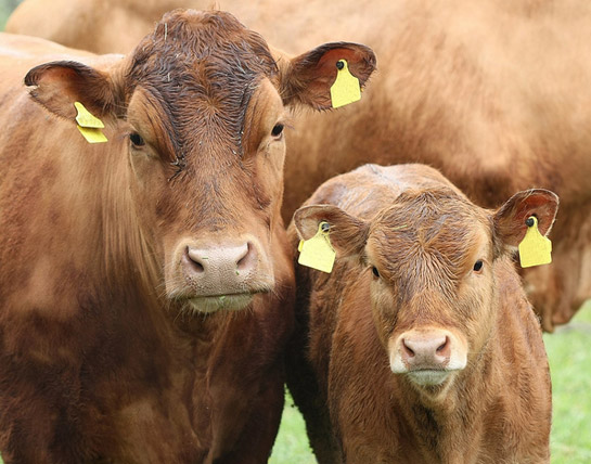 Beef Sustainability - Driving sustainability in beef production and supply