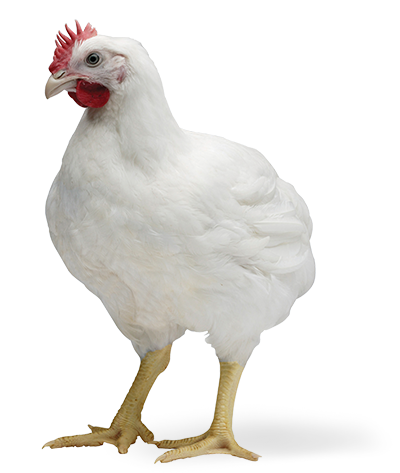 Cobb 500 - The world's most efficient - The Poultry Site