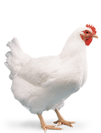 Cobb-Vantress Philippines Inc. - The Poultry Site