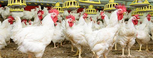 POULTRY FARMING DISINFECTION - Halamid