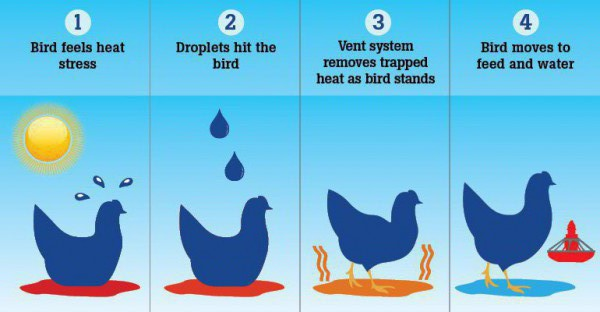 The sprinkler system encourages birds to stand during periods of high temperature, releasing trapped heat underneath their bodies while promoting adequate feed and water consumption.