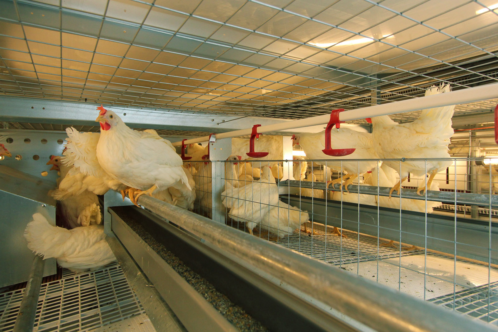 Jansen Poultry Equipment - Enriched Colony