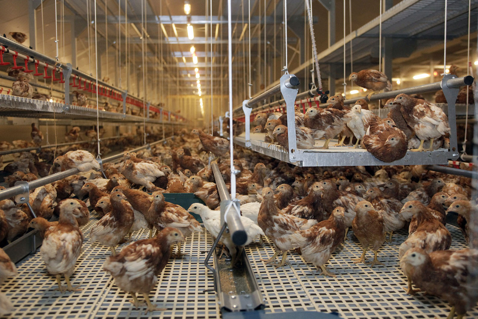 Jansen Poultry Equipment - Rearing Systems