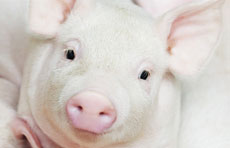 Webinar - Swine flu: selecting optimized diagnostic tools