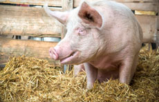 How your choice of PRRSV test impacts pig herd health & economics