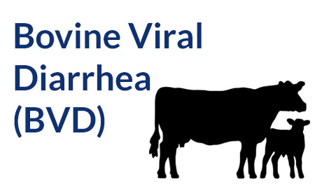 Bovine viral diarrhea (BVD) - Disease Guide - Life Technologies