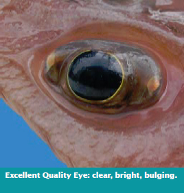 Excellent Quality Eye: clear, bright, bulging