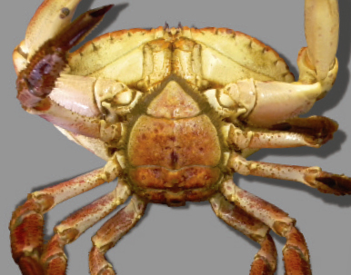 Female brown crab