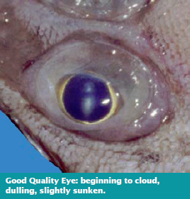 Good Quality Eye: beginning to cloud, dulling, slightly sunken