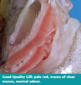 Good Quality Gill: pale red, traces of clear mucus, neutral odour