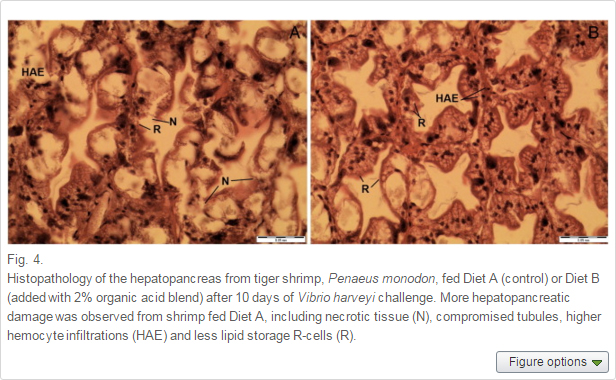 A appeared to have more histopathological damage to the hepatopancreas than shrimp fed Diet B