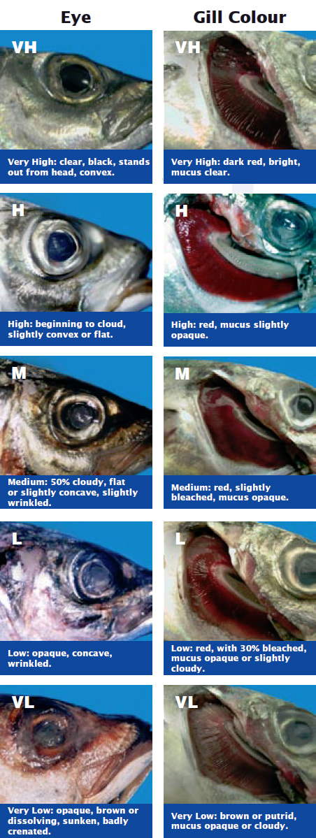 Horse Mackerel: A Guide to Handling and Quality | The Fish Site