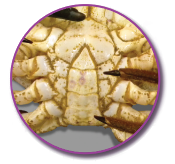 Male brown crab