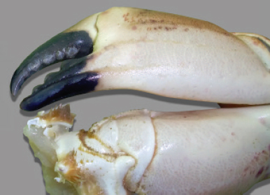 The underside of the claws are off-white in colour