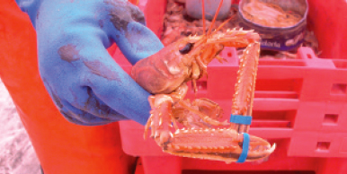 The claws of the prawn should be closed shut and banded