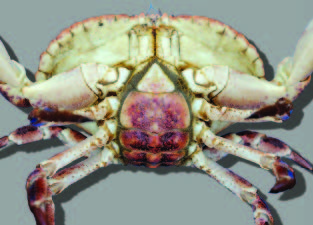 The underside of the crab's abdomen or flap is darkly coloured.