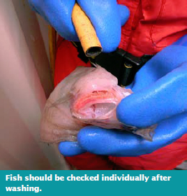 Fish should be checked individually after washing
