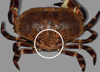 The topside of the crab is lightly pigmented at the back of the shell