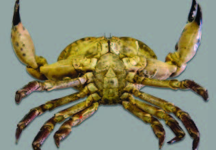 A male brown crab heavily affected by blackspot