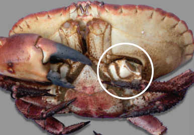 Cripples: Brown crab that are physically damaged