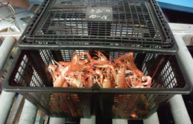Up to 6kg of the live, graded, banded prawns should be
