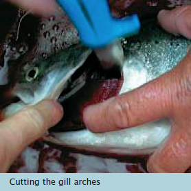 Bleeding - Cutting the gill arches