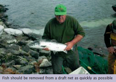 Stunning - Fish should be removed from a draft net as quickly as possible