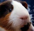 Guinea pigs are not the same company as rabbits for company