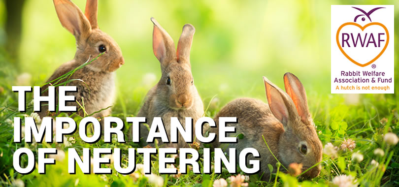 The Importance of Neutering - Rabbit Welfare