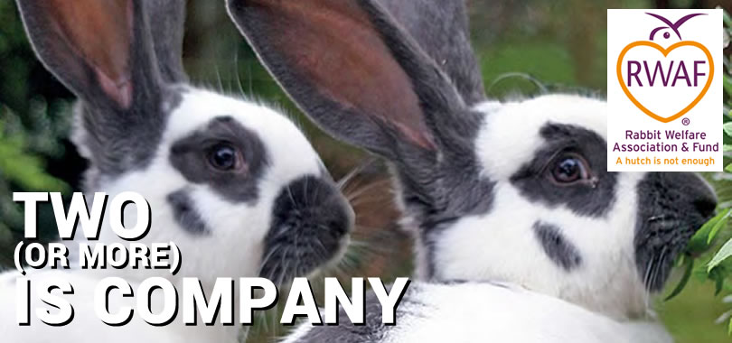 Two (or more) is Company - Rabbit Welfare