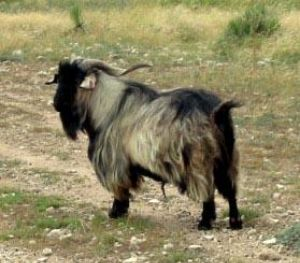 Myotonic - Different Breeds of Goat - TheSheepSite