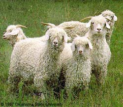 Angora - Different Breeds of Goat - TheSheepSite