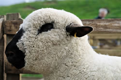 Hampshire Down - Different Breeds of Sheep - TheSheepSite