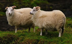 Icelandic - Different Breeds of Sheep - TheSheepSite