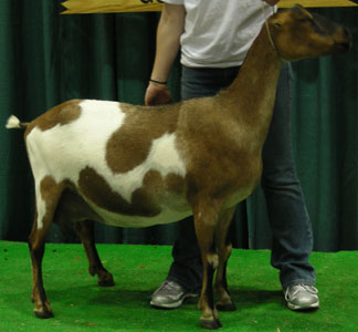 La Mancha - Different Breeds of Goat - TheSheepSite