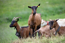 Oberhasli - Different Breeds of Goat - TheSheepSite