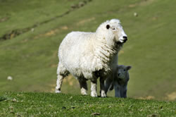 Perendale - Different Breeds of Sheep - TheSheepSite