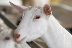 Saanen - Different Breeds of Goat - TheSheepSite