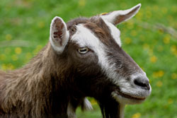Toggenburg - Different Breeds of Goat - TheSheepSite