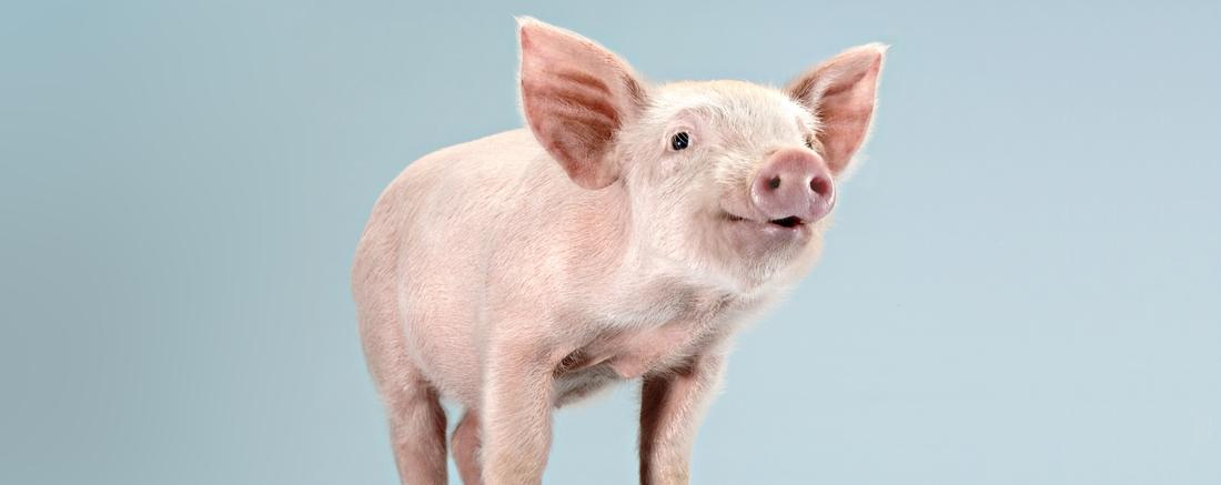Zoetis Global Swine - For Animals. For Health. For You.