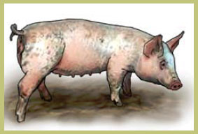 Sudden weight loss in pigs