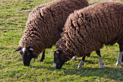 Black Welsh Mountain - Different Breeds of Sheep - TheSheepSite