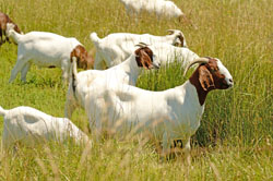Boer - Different Breeds of Goat - TheSheepSite