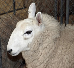 Cheviot - Different Breeds of Sheep - TheSheepSite