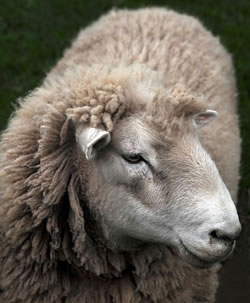 Corriedale - Different Breeds of Sheep - TheSheepSite