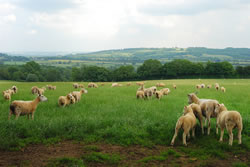 Cotswold - Different Breeds of Sheep - TheSheepSite