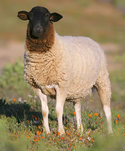 Dorper - Different Breeds of Sheep - TheSheepSite