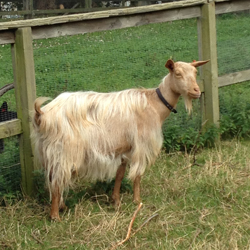 Golden Guernsey - Different Breeds of Goat - TheSheepSite
