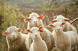 Merino - Different Breeds of Sheep - TheSheepSite